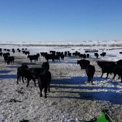 Feeding Cows During Another Below Zero Morning Near Rosebud, MT – by Jesse McCarthy