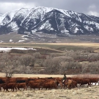 Moving Cattle in Wyoming – by Kay Shrock