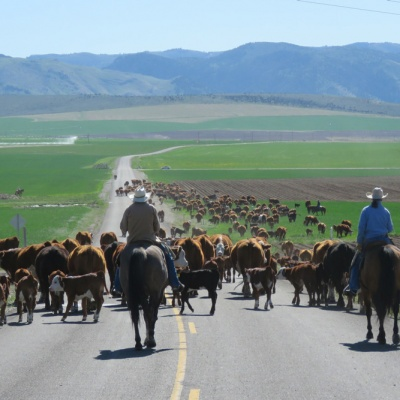 Spring cattle drive