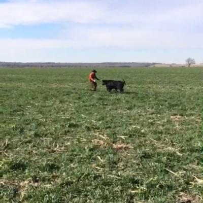Cow Charging – Dana Monroe