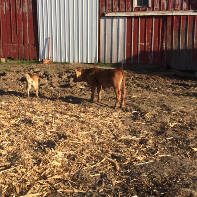 Bull Calf Following After the Farm Dog Scout – by Lisa Schroeder