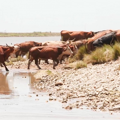 Swimming Cows – by Betsy Bergeron