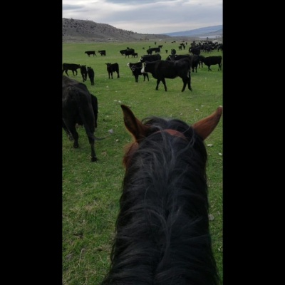 Bringing the Herd in for Branding – by Caitlyn McCollum